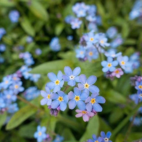 Forget_Me_Nots_Funeral_Flower_Arrangements.jpg