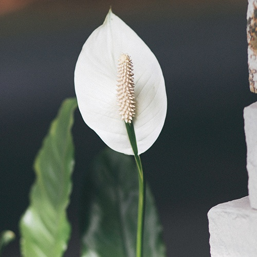 Peace_Lily_Funeral_Flower_Arrangements.jpg